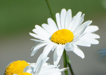 Studio 2.8 flour of flora daffodil