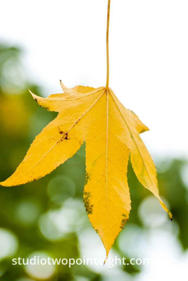 An Autumnal Assay - A Yellow Leaf with A White Bokeh Background
