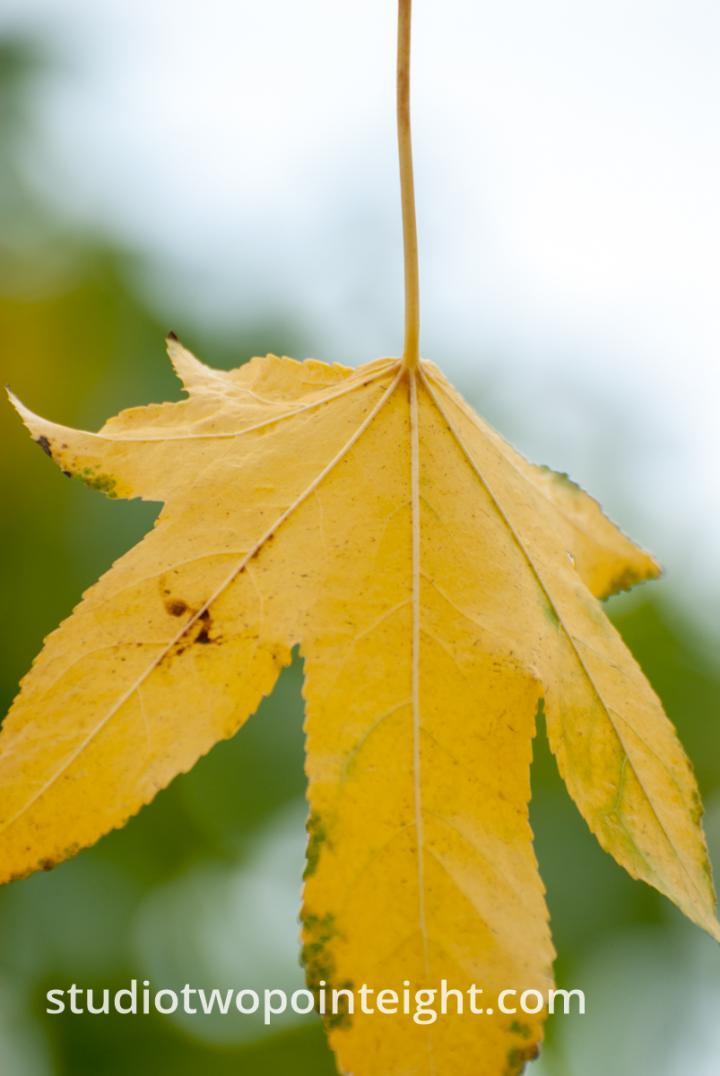 An Autumnal Assay - Another Yellow Leaf with A White Bokeh Background