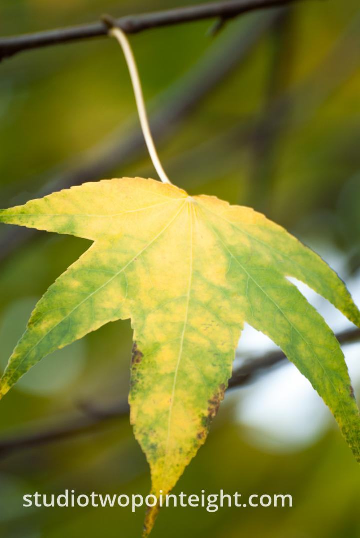 An Autumnal Assay - A Green Yellow Leaf Hanging From a Gray Branch