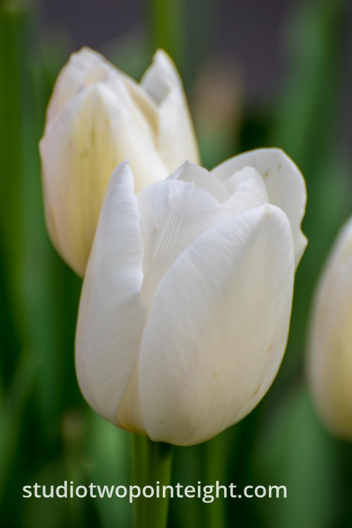 April Tulip Blossoms - White Tulips, One Behind Another