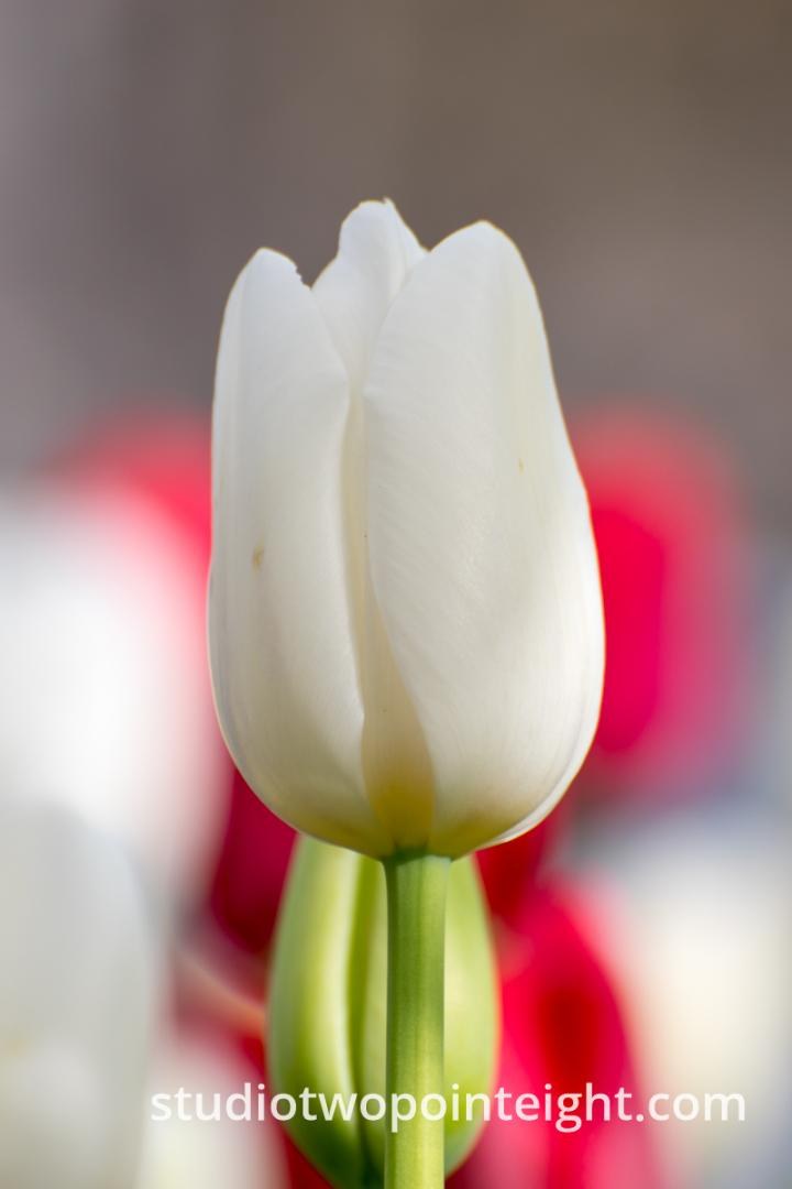 April Tulip Blossoms - A White Tulip Blossom On Its Stem With Red Blossoms Behind