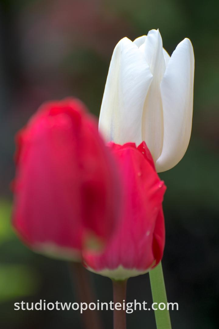 April Tulip Blossoms, A White Tulip Tucked Behind Red Ones
