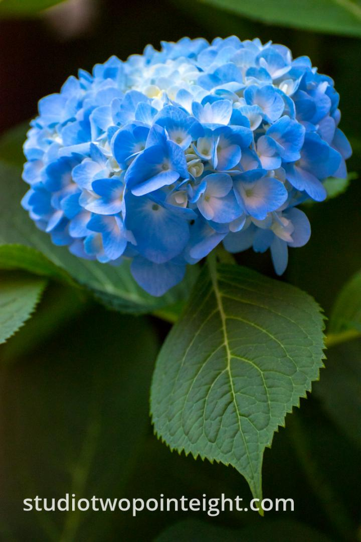 Studio 2.8 Summer Florals, An Azure Hydrangea Blossom Beneath Soft Summer Evening Light