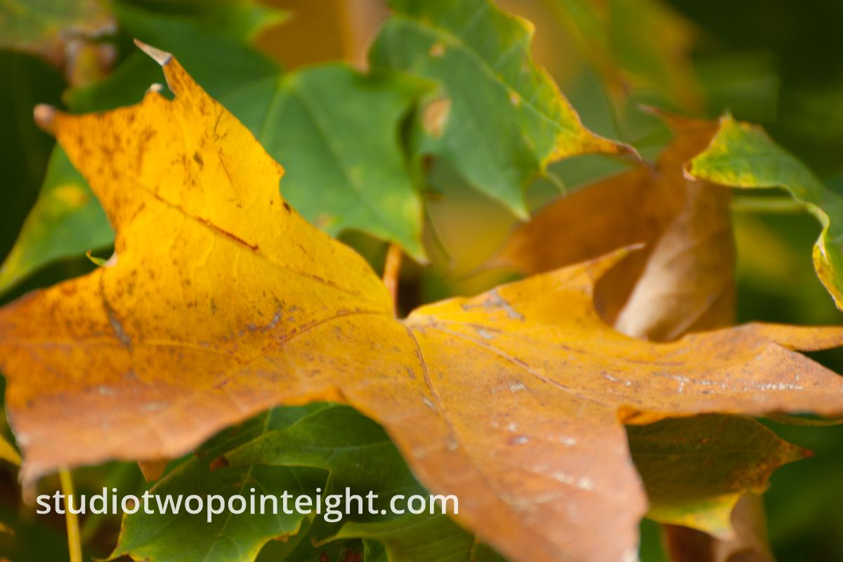 An Autumnal Assay - A Nestled Brown Leaf, Still On Its Stem
