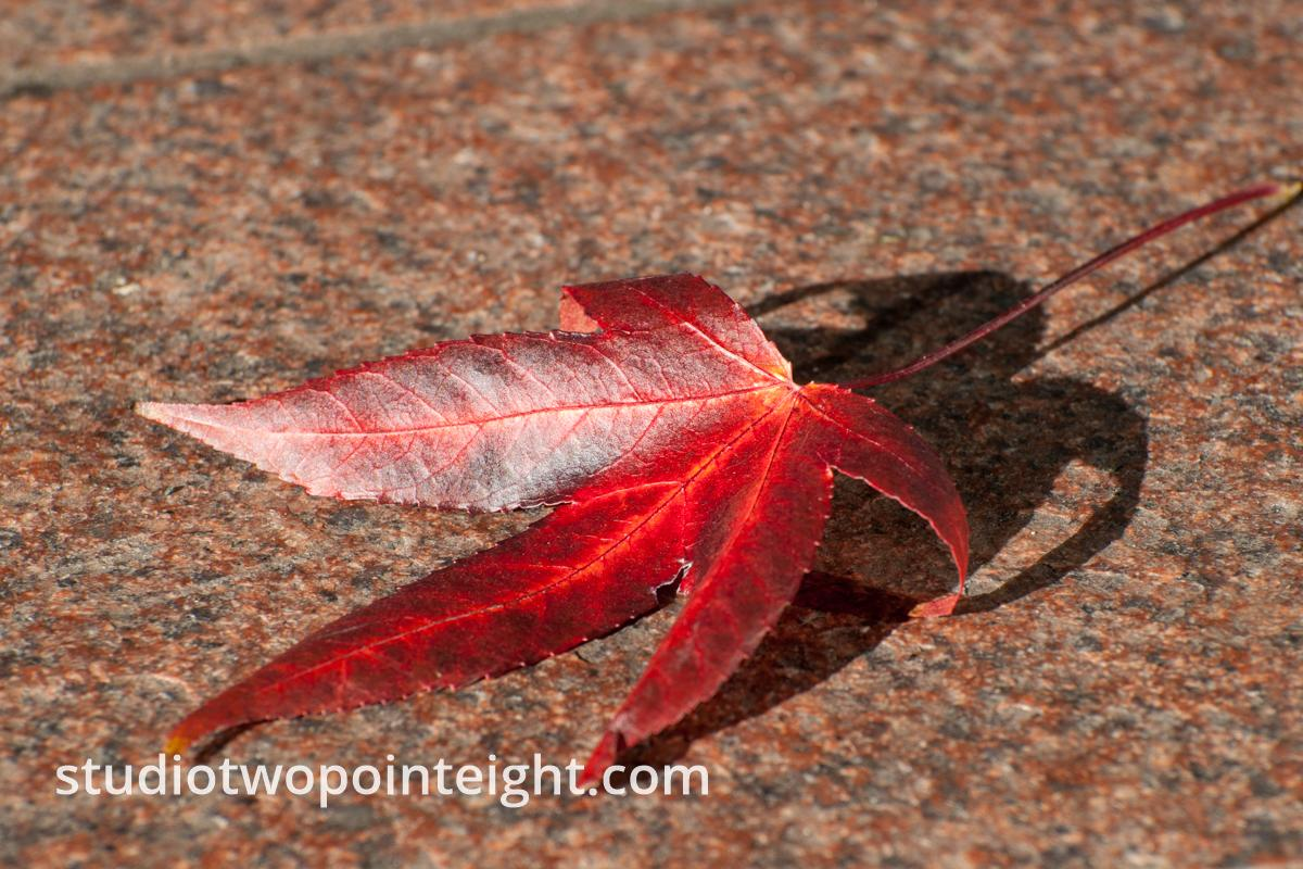 An Autumnal Assay - A Deep Red Leaf Fallen Onto Brown Pavement