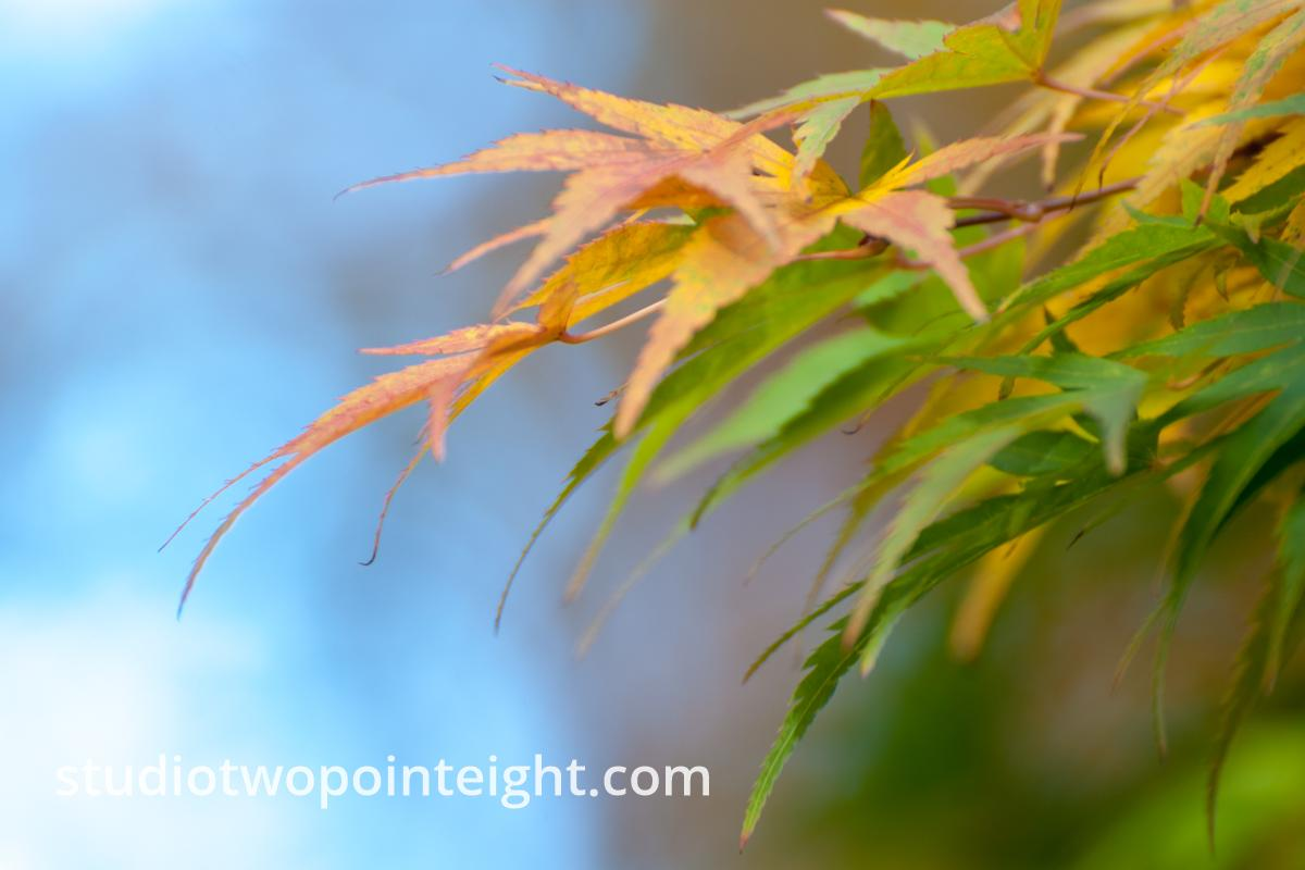 An Autumnal Assay - Asymmetrical Green and Brown Leaves Against Bokeh Blue Sky