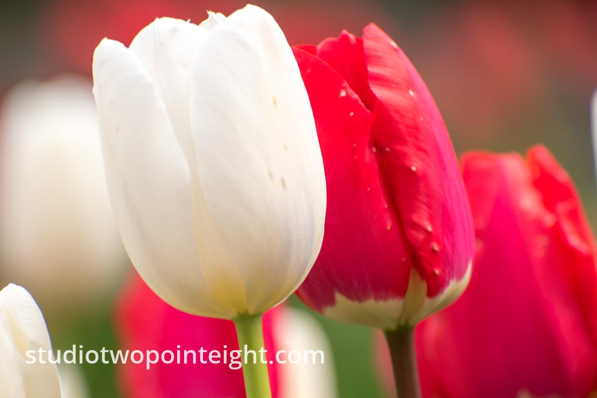 April Tulip Blossoms, A Cluster or White and Red Tulips