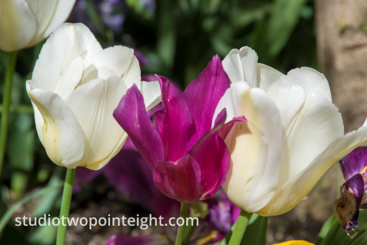Studio 2.8 Tulip Blossoms 2020 April Another Blossom Trio This One Purple and White