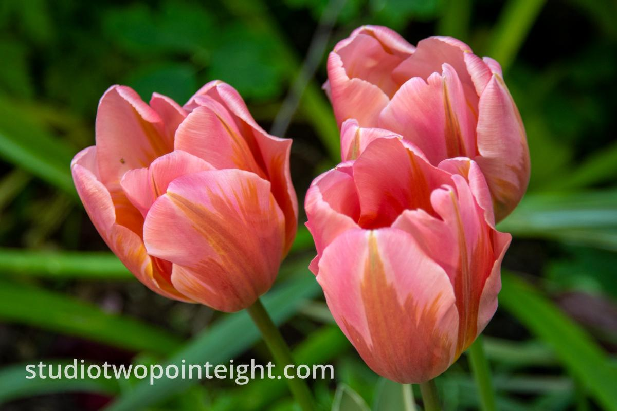 Studio 2.8 Tulip Blossoms 2020 May, A Trio of Late Season Glorious Pink and Sienna Tulip Blossoms During Evening Shade