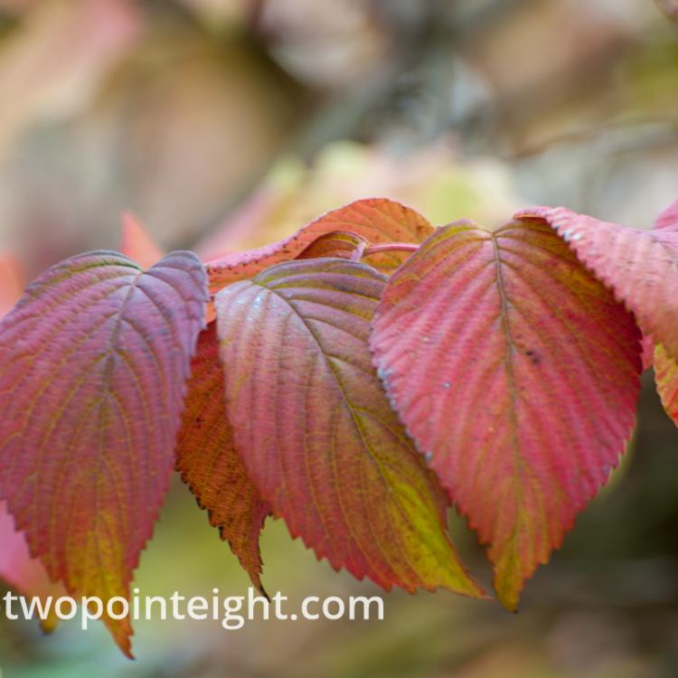 An Autumnal Assay - Reddish Leaves with Bokeh Background