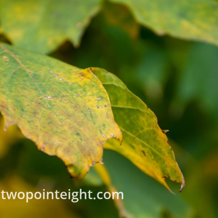 An Autumnal Assay - An Asymmetrical Green Leaf Against A Bokeh Background