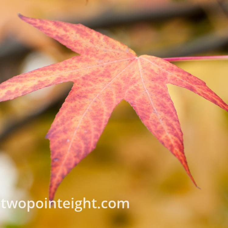 An Autumnal Assay - A Red and Yellow Leaf Against a Golden Bokeh Background