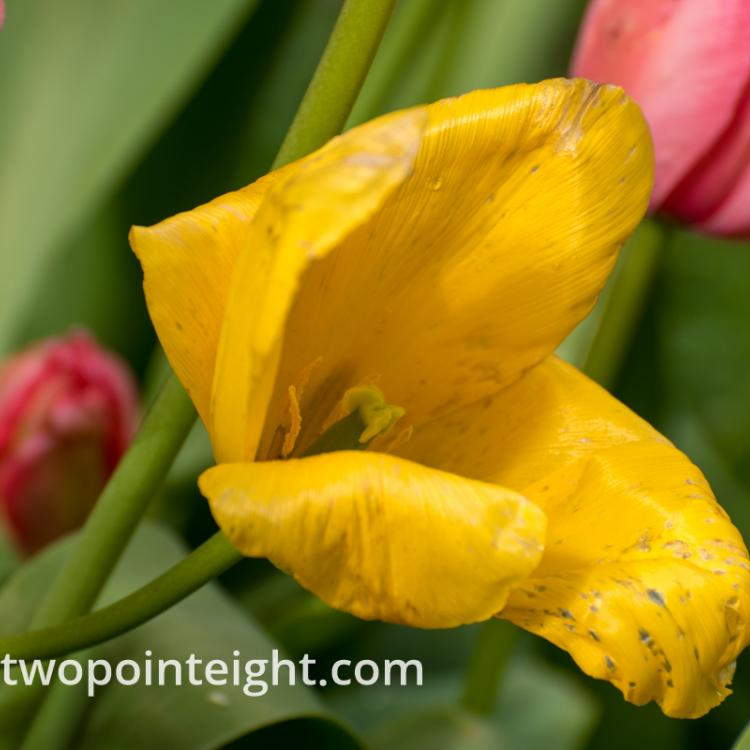 April Tulip Blossoms, A Fading Yellow Tulip Wider Perspective