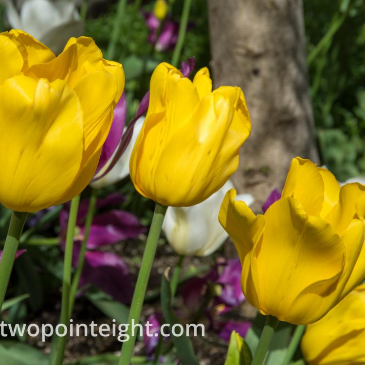 Studio 2.8 Tulip Blossoms 2020 April A Trio of Bright Yellow Blossoms