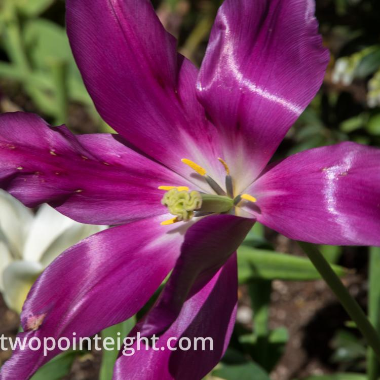 Studio 2.8 Tulip Blossoms 2020 April Purple Wide Open With Stamen