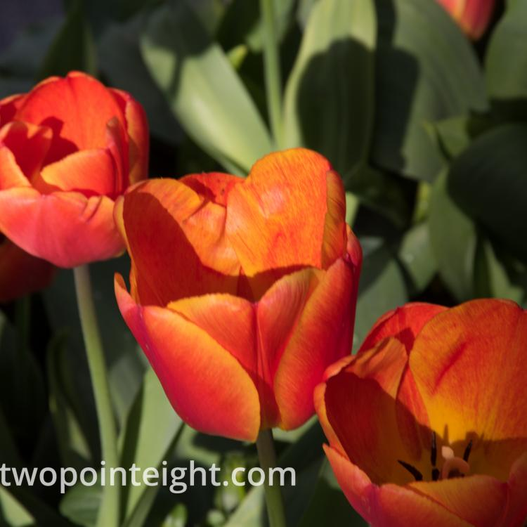 Studio 2.8 Tulip Blossoms 2020 April A Trio of Sienna Orange Blossom In Sun and Shade