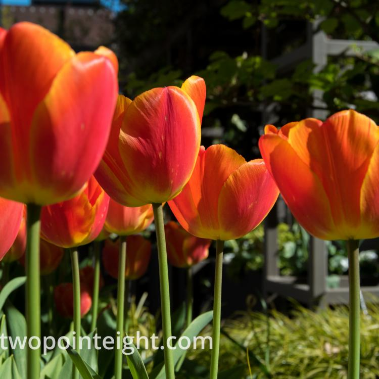Studio 2.8 Tulip Blossoms 2020 April A Parade of Afternoon Sunshine Bathed Orange and Yellow Tulips