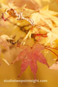An Autumnal Assay - Yellow and Golden Browning Leaves Against Gold Bokeh Background
