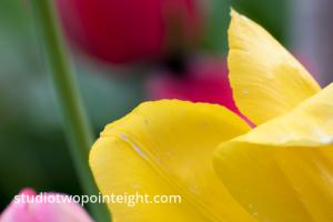 April Tulip Blossoms, A Yellow Tulip Macro Abstract