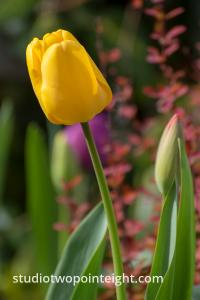 April Tulip Blossoms, A Yellow Tulip Next To A Red Bud