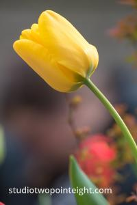 April Tulip Blossoms, Another Yellow Tulip Leaning Tower Of Pisa