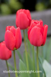 April Tulip Blossoms, A Stand Of Red Tulip Blossoms