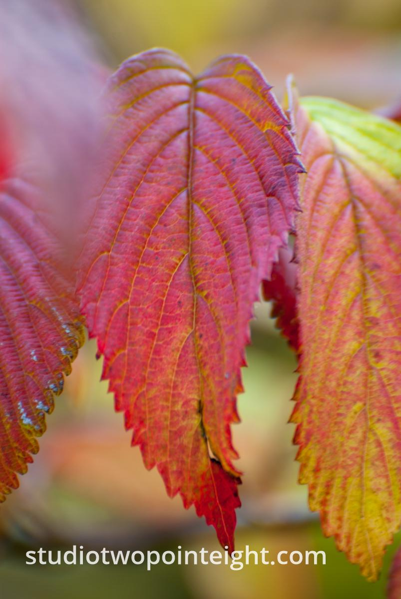 An Autumnal Assay - A Reddish Leaf with Bokeh Background