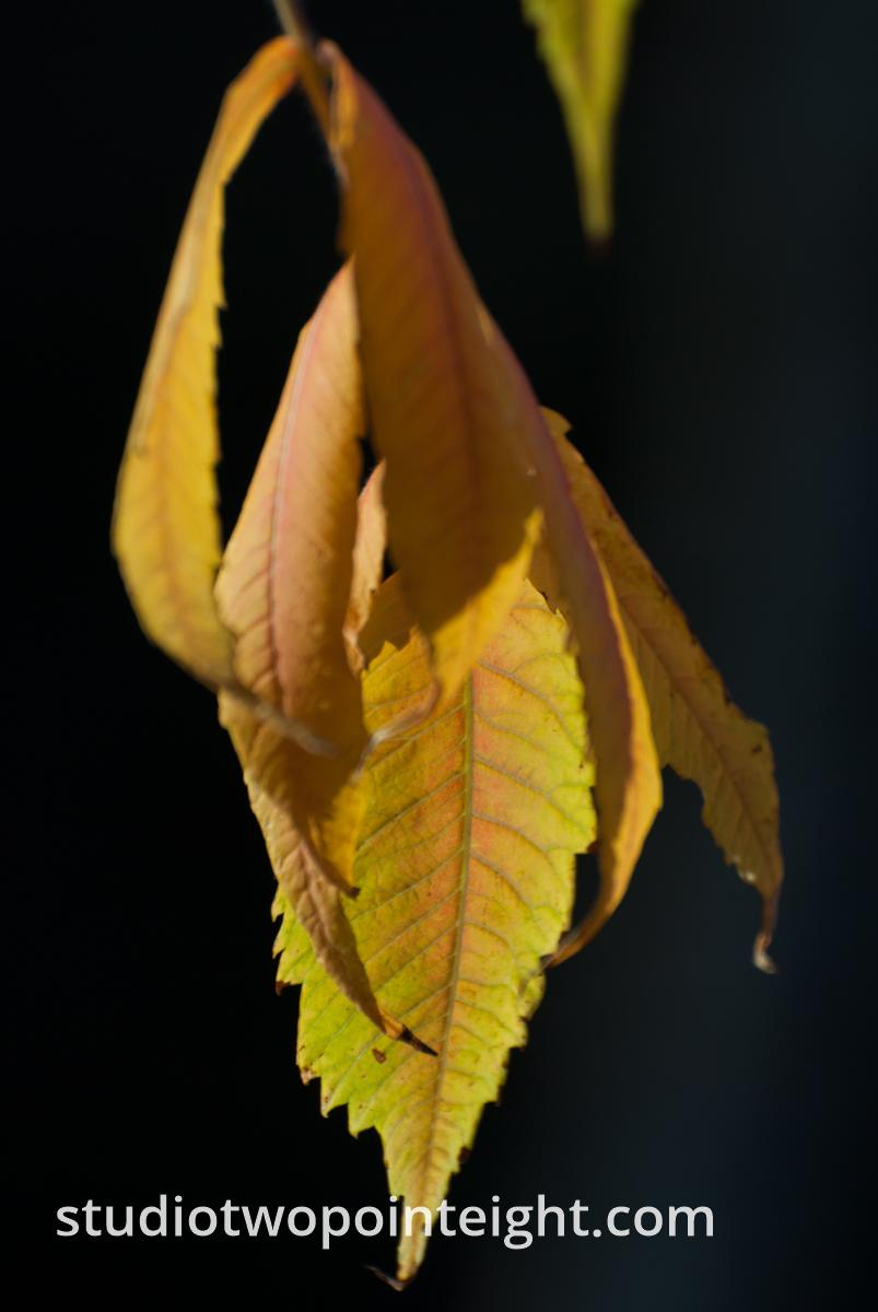 An Autumnal Assay - Browning Green Leaves on a Black Background